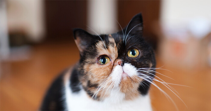 Meet Pudge at the Edmonton International Cat Festival!